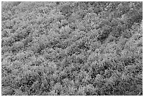 Burned area with shrubs in autumn colors. Mesa Verde National Park, Colorado, USA. (black and white)