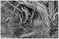 Close up of grasses and roots. Mesa Verde National Park, Colorado, USA. (black and white)