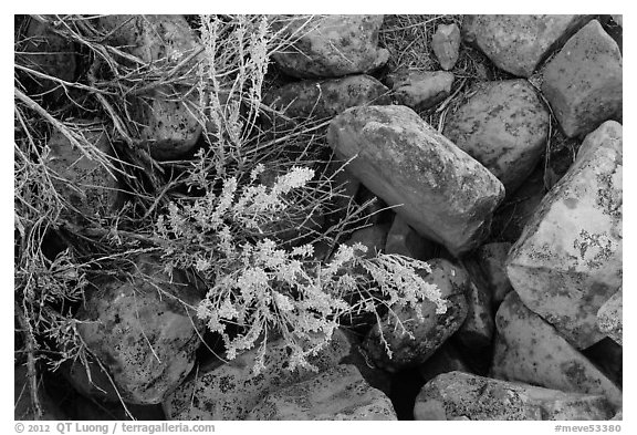 Close up of flowers and rocks used in Ancestral Puebloan structures. Mesa Verde National Park (black and white)