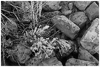 Close up of flowers and rocks used in Ancestral Puebloan structures. Mesa Verde National Park, Colorado, USA. (black and white)