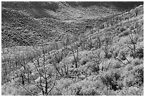 Canyon with burned trees and brush in fall colors. Mesa Verde National Park, Colorado, USA. (black and white)