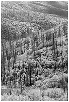 Burned forest and vividly colored shurbs in autumn. Mesa Verde National Park, Colorado, USA. (black and white)