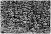 Slope with burned trees, shadows, and shurbs in autumn foliage. Mesa Verde National Park ( black and white)