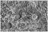 Ground view with wildflowers and black rock. Petrified Forest National Park ( black and white)