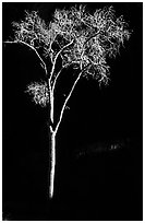 Spotlighted bare cottonwood, Zion Canyon. Zion National Park ( black and white)
