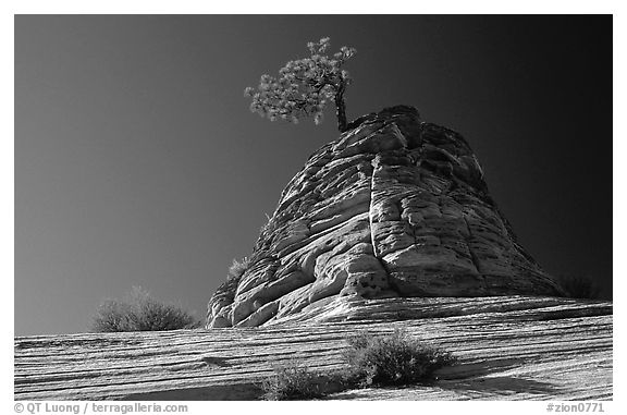 Lone pine on sandstone swirl, Mesa area. Zion National Park (black and white)