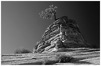 Lone pine on sandstone swirl, Mesa area. Zion National Park, Utah, USA. (black and white)