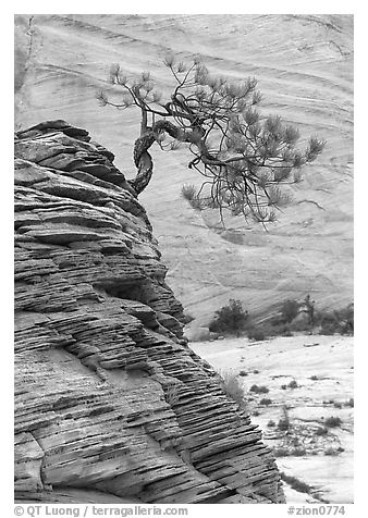Lone pine on sandstone swirl and rock wall, Zion Plateau. Zion National Park (black and white)