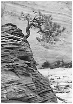 Lone pine on sandstone swirl and rock wall, Zion Plateau. Zion National Park, Utah, USA. (black and white)