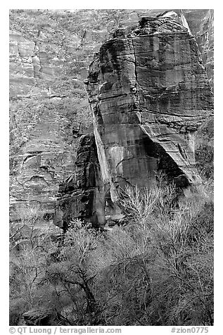The Pulpit and bare trees, Zion Canyon. Zion National Park (black and white)