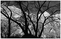 Canyon walls seen through bare trees, Zion Canyon. Zion National Park ( black and white)