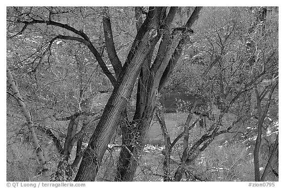 Cottonwood trees in winter, Zion Canyon. Zion National Park (black and white)