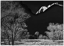 Bare cottonwoods and shadows near Zion Lodge. Zion National Park, Utah, USA. (black and white)