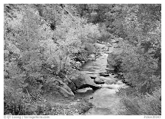Virgin river, trees in fall foliage, and boulders. Zion National Park (black and white)