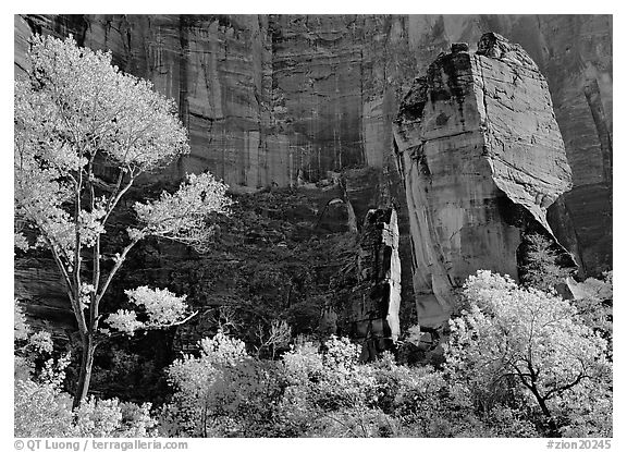 Tree in autumn foliage and the Pulpit, temple of Sinawava. Zion National Park (black and white)