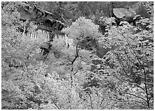 Cliff, waterfall, and trees in fall colors, near  first Emerald Pool. Zion National Park ( black and white)