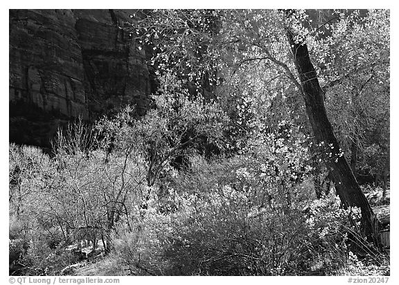 Backlit trees and shrubs in autumn. Zion National Park (black and white)