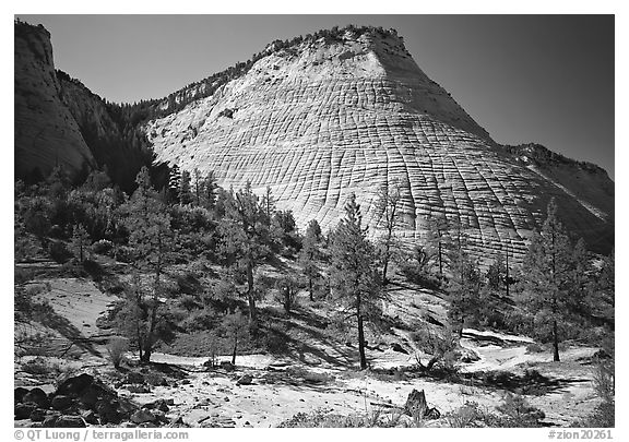 Pine trees and Checkerboard Mesa, morning. Zion National Park (black and white)