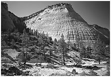 Pine trees and Checkerboard Mesa, morning. Zion National Park ( black and white)
