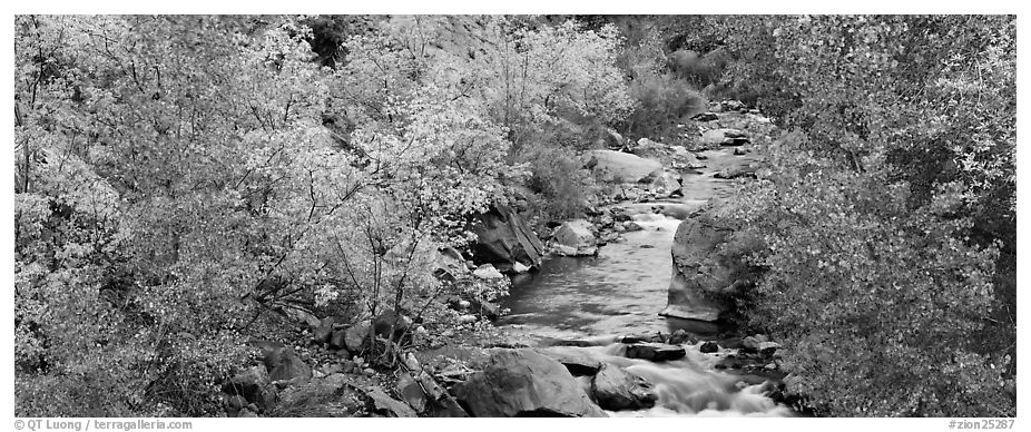 Trees in fall colors on the banks of the Virgin River. Zion National Park (black and white)