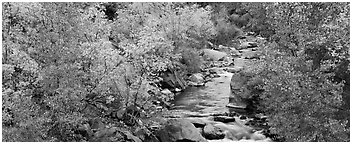 Trees in fall colors on the banks of the Virgin River. Zion National Park (Panoramic black and white)