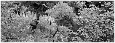 Fall colors and sandstone cliffs. Zion National Park (Panoramic black and white)