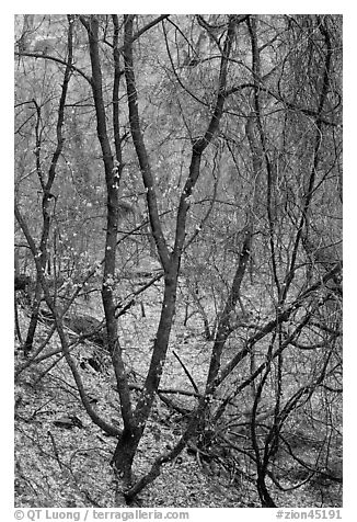 Bare tree tangle with a few leaves, Zion Canyon. Zion National Park (black and white)