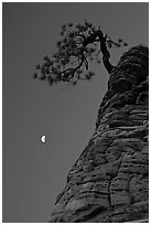 Pine tree and half-moon at dawn. Zion National Park, Utah, USA. (black and white)