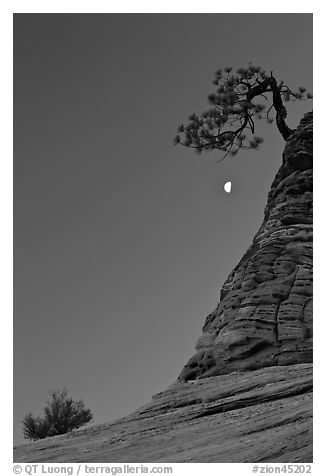 Bush, half-moon, and pine tree, twilight. Zion National Park (black and white)