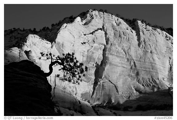 Tree in silhouette and cliff at sunrise, Zion Plateau. Zion National Park (black and white)
