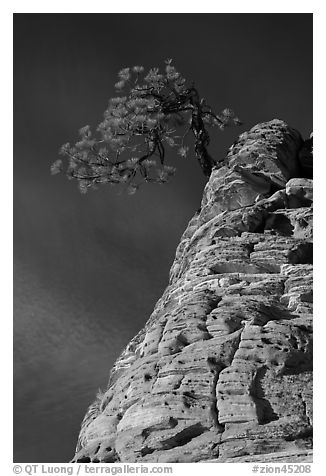 Tree growing out of twisted sandstone, Zion Plateau. Zion National Park (black and white)