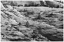Trees growing out of sandstone slabs, Zion Plateau. Zion National Park ( black and white)