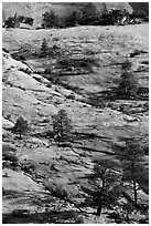 Pine trees and sandstone slabs, Zion Plateau. Zion National Park, Utah, USA. (black and white)