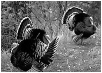 Wild Turkeys. Zion National Park, Utah, USA. (black and white)