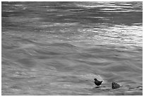 Bird, water flowing, reflections from cliffs. Zion National Park ( black and white)
