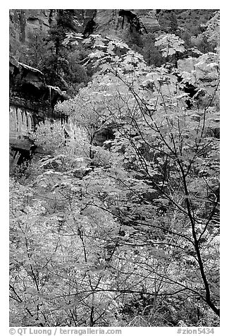 Cliff, waterfall, and trees in fall foliage, near the first Emerald Pool. Zion National Park (black and white)