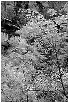 Cliff, waterfall, and trees in fall foliage, near the first Emerald Pool. Zion National Park, Utah, USA. (black and white)
