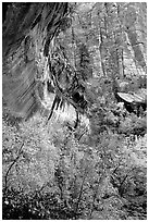 Rock wall and trees in fall colors, near the first Emerald Pool. Zion National Park, Utah, USA. (black and white)