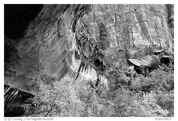 Sandstone cliff and trees in autumn foliage. Zion National Park (black and white)
