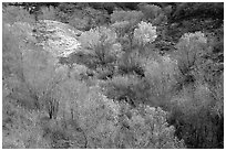 Trees in fall foliage in creek, Finger canyons of the Kolob. Zion National Park ( black and white)