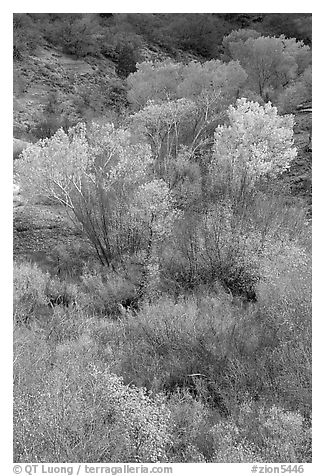 Trees in fall colors in a creek, Finger canyons of the Kolob. Zion National Park (black and white)