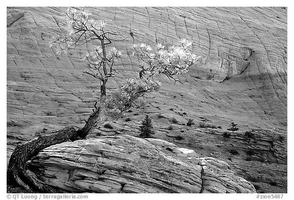 Pine tree and checkerboard patterns, Zion Plateau. Zion National Park (black and white)