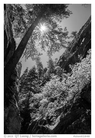 Sun through tree at the mouth of Hidden Canyon. Zion National Park (black and white)