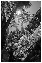 Sun through tree at the mouth of Hidden Canyon. Zion National Park ( black and white)