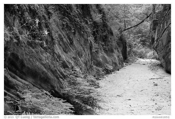 Wash bordered by fern-covered wall, Hidden Canyon. Zion National Park (black and white)