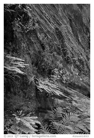 Wall covered with ferns and flowers, Hidden Canyon. Zion National Park (black and white)