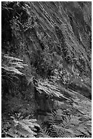 Wall covered with ferns and flowers, Hidden Canyon. Zion National Park ( black and white)