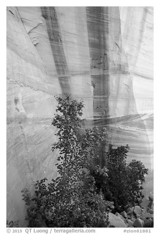 Trees and wall with desert varnish, Mystery Canyon. Zion National Park (black and white)