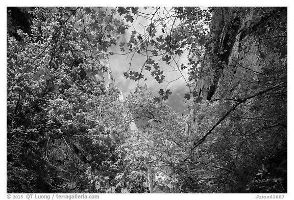 Looking up green foliage and cliffs, Mystery Canyon. Zion National Park (black and white)