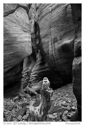 Juvenile owls on tree log, Pine Creek Canyon. Zion National Park (black and white)